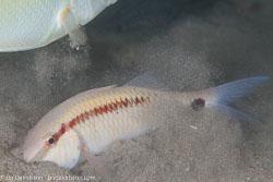 BD-110318-Puerto-Galera-3999-Parupeneus-barberinus-(Lacepède.-1801)-[Dash-and-dot-goatfish].jpg